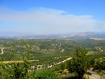 Olive Trees from Ubeda
