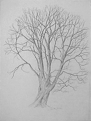 Joan Berg Victor drawing Old Maple in Early Winter
