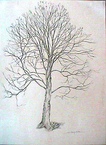 Joan Berg Victor drawing Solitary Maple